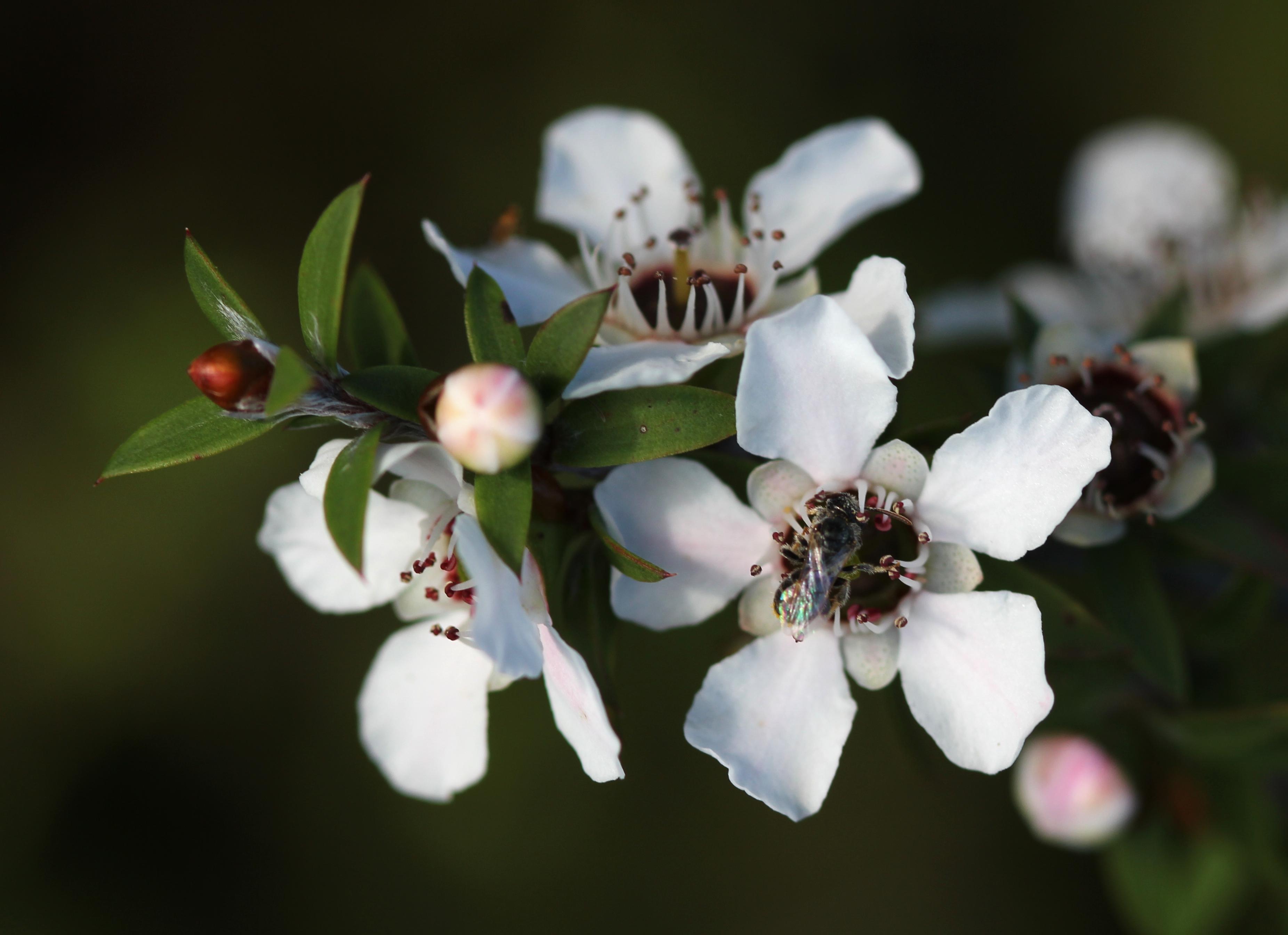 Bí mật đằng sau chỉ số UMF và MGO trong mật ong MANUKA? 2